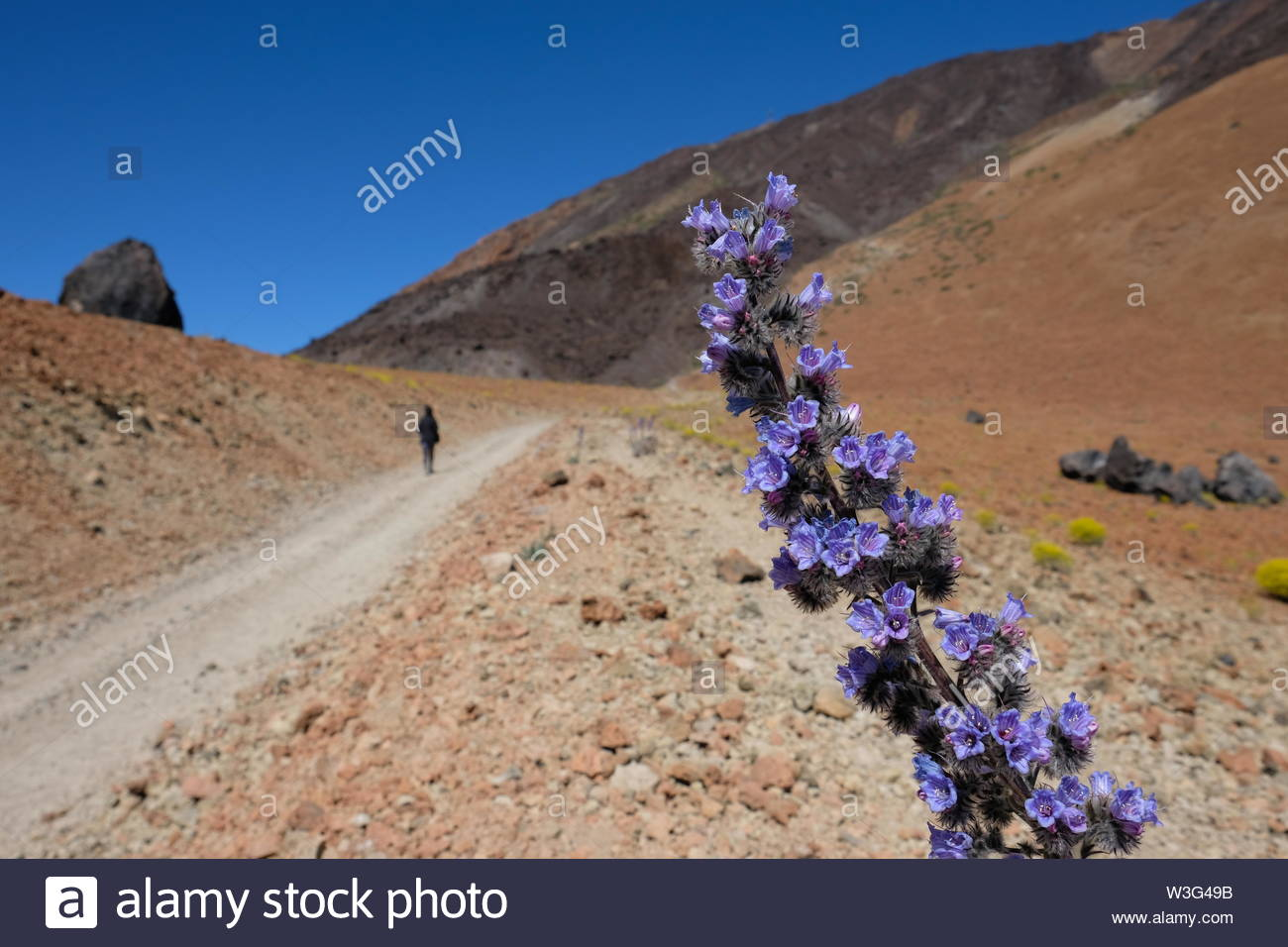 Pink flowers with blurred hiker on background and copy space - Stock Image