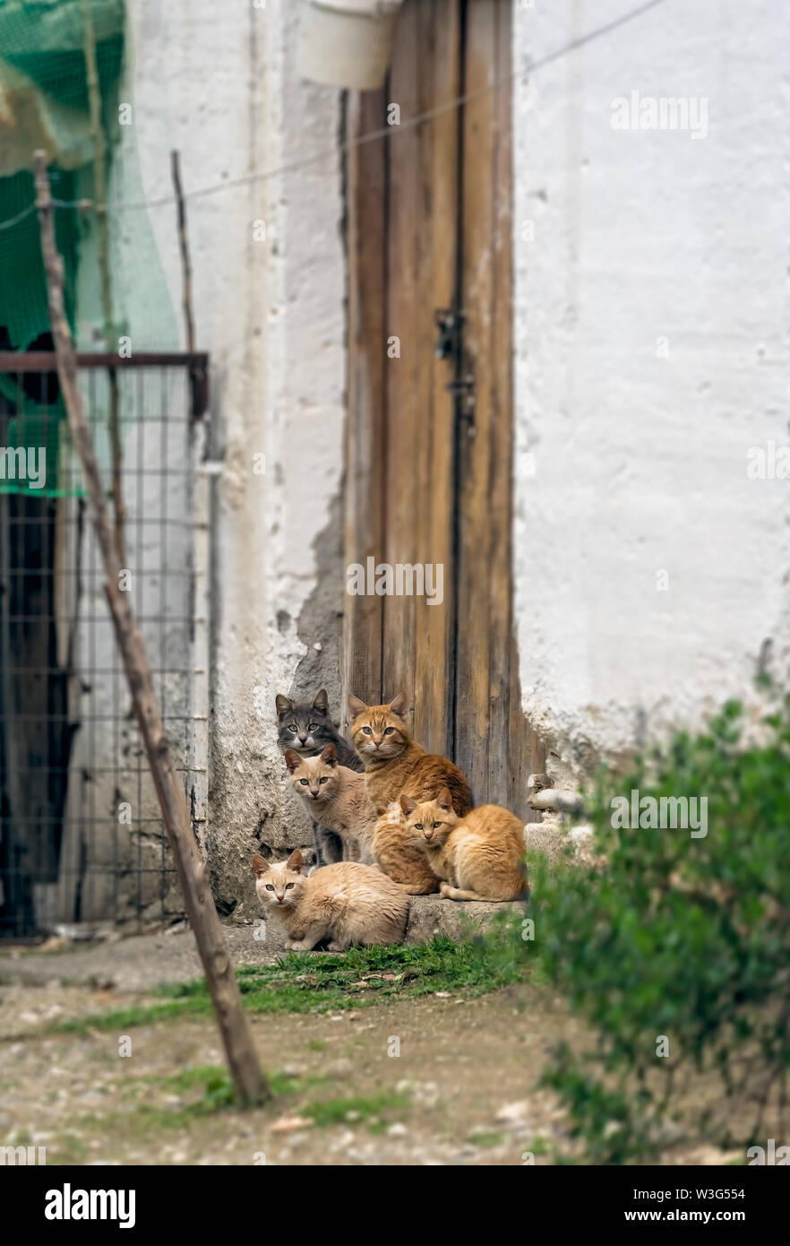 Herd of cute brown and white cats sitting at the porch in front of entrance doors to village house - Stock Image