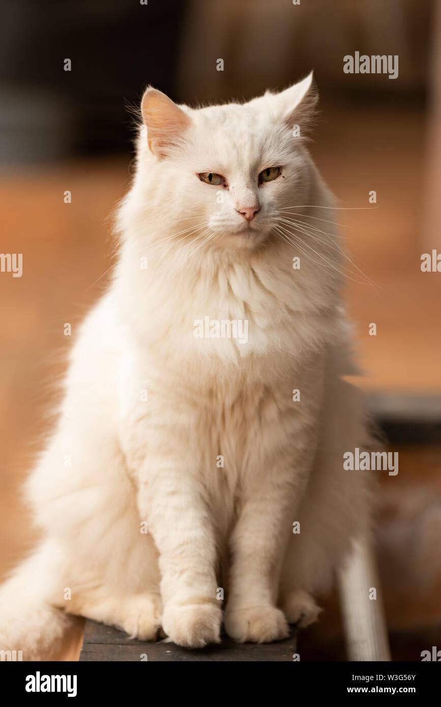 White Norweigen Forrest Cat Posing at Sunrise. - Stock Image