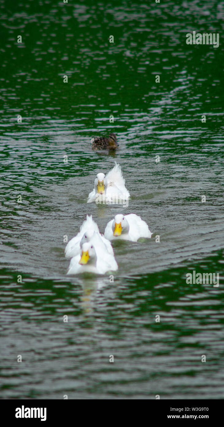 Group of large white broiler, pekin, peking, aylesbury, american ducks on a lake in a row, close up water level view, showing white feathers and yello - Stock Image