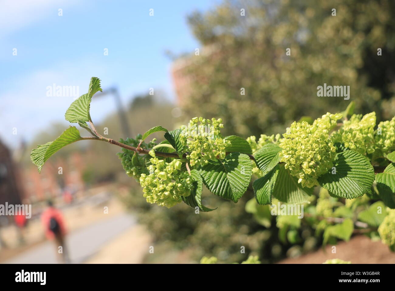 This is a photo of a flowering bush. There are two students in the background walking to class. Stock Photo