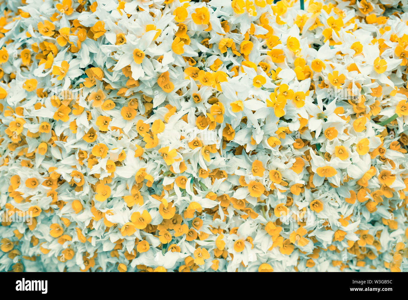 yellow flowers with white leaves. background image with yellow and white colored flowers - Stock Image