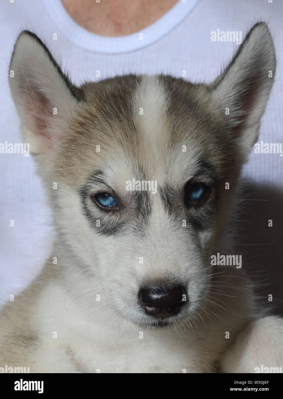 My 53 Day Old Female Siberian Husky Puppy With Blue Eyes And White And Grayish Black Fur Stock Photo Alamy