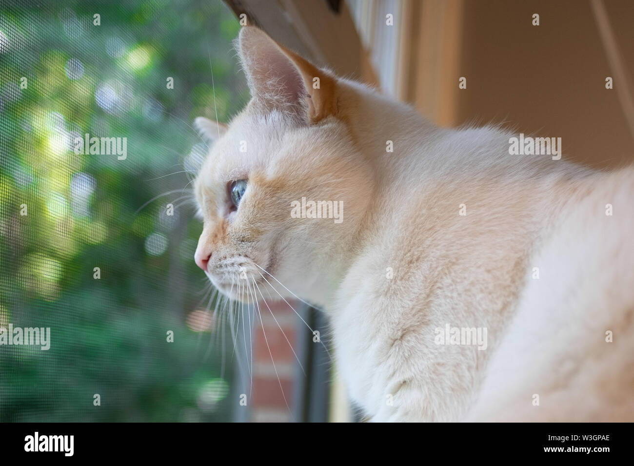 A white flamepoint Siamese cat with blue eyes looking out of a window, with a lush green background. - Stock Image