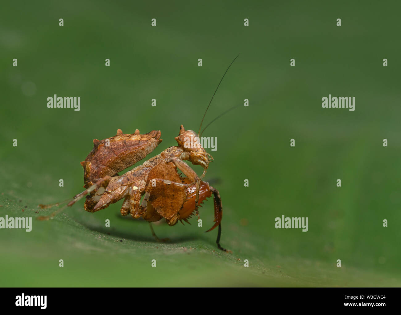 Mantis Babies High Resolution Stock Photography And Images Alamy