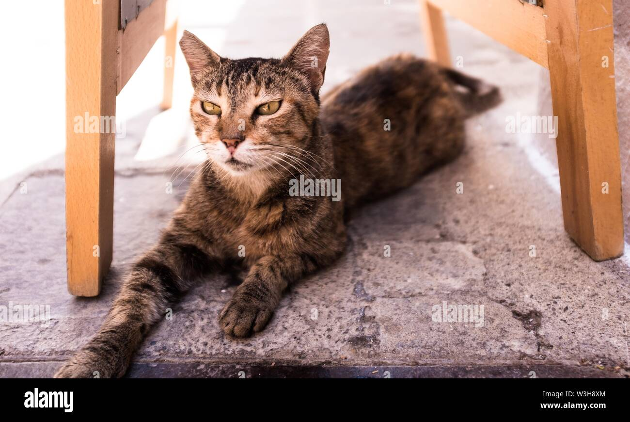 A closeup shot of a domestic cute cat laying under a chair - Stock Image