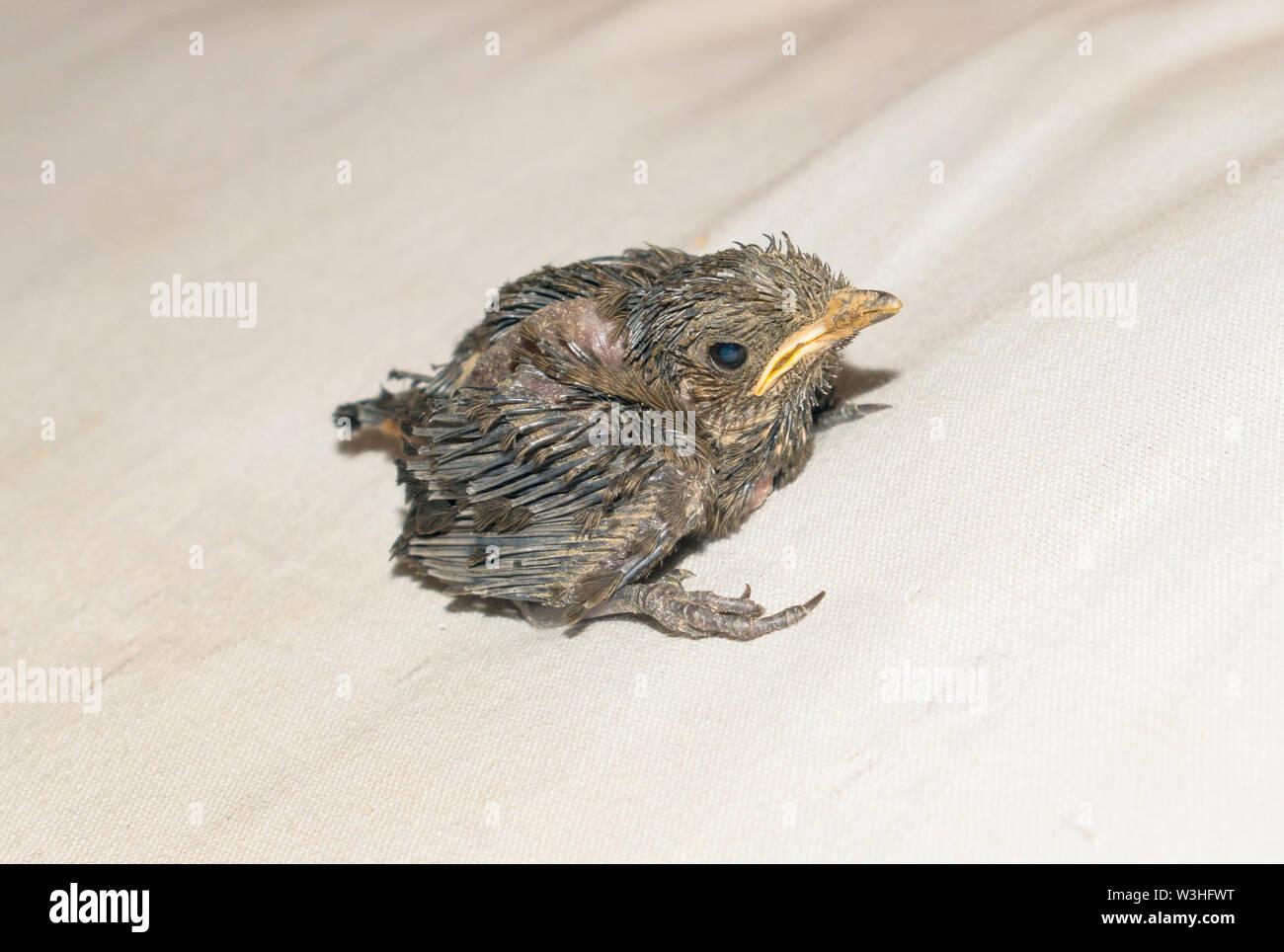 close up of a baby humming bird sitting on white sheet,white background. Stock Photo