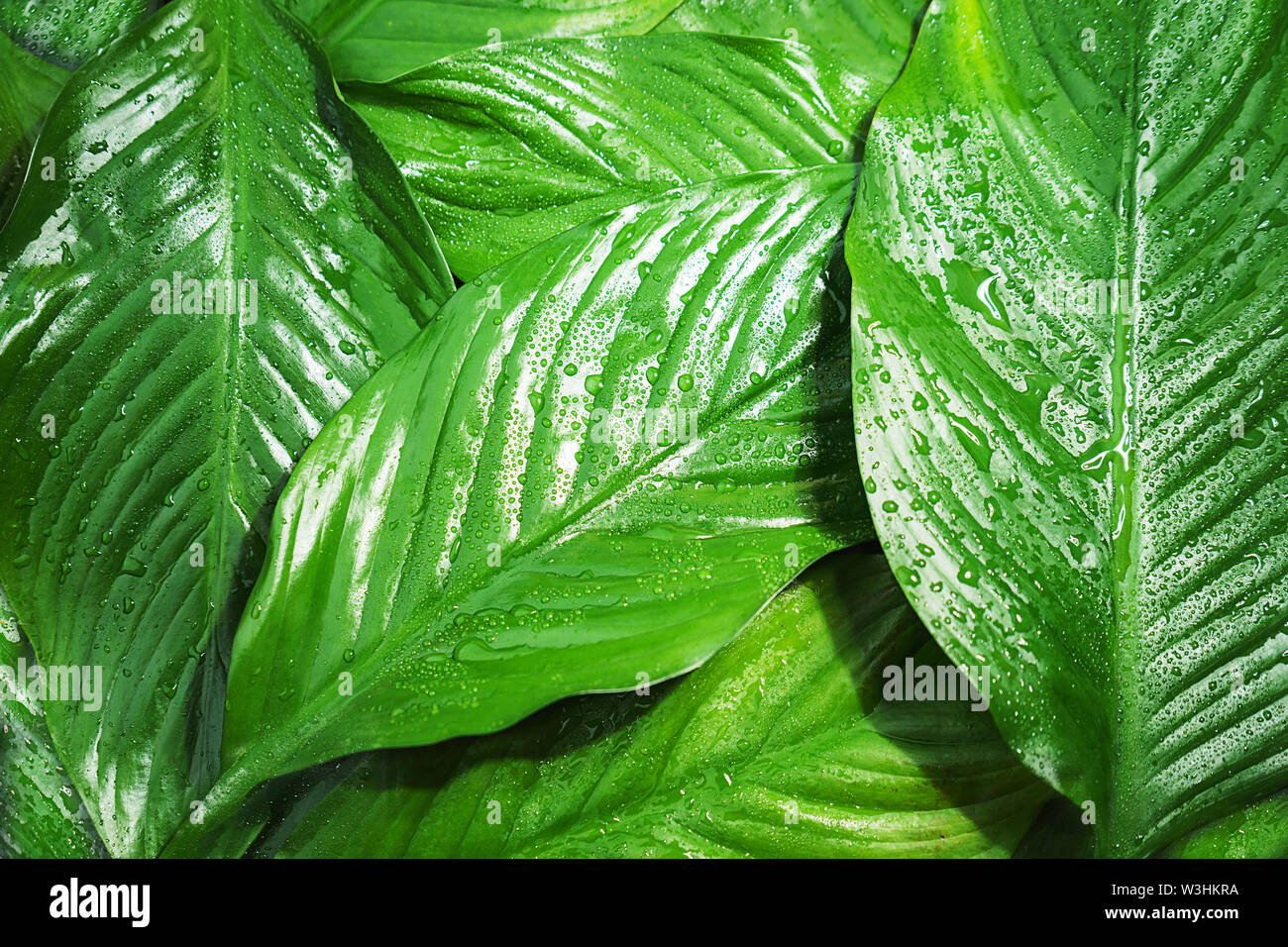 Green fresh leaves with raindrop, beautiful natural background. Close up.Top view, flat lay. - Stock Image