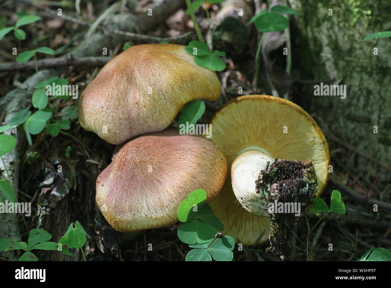 Tricholomopsis rutilans, known as the Plums and Custard mushroom or Red-haired agaric - Stock Image