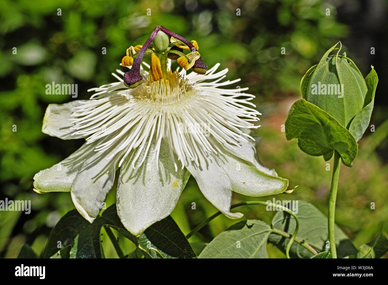 Passion Flower Cerulean Constance Elliot Stock Photo 260394802