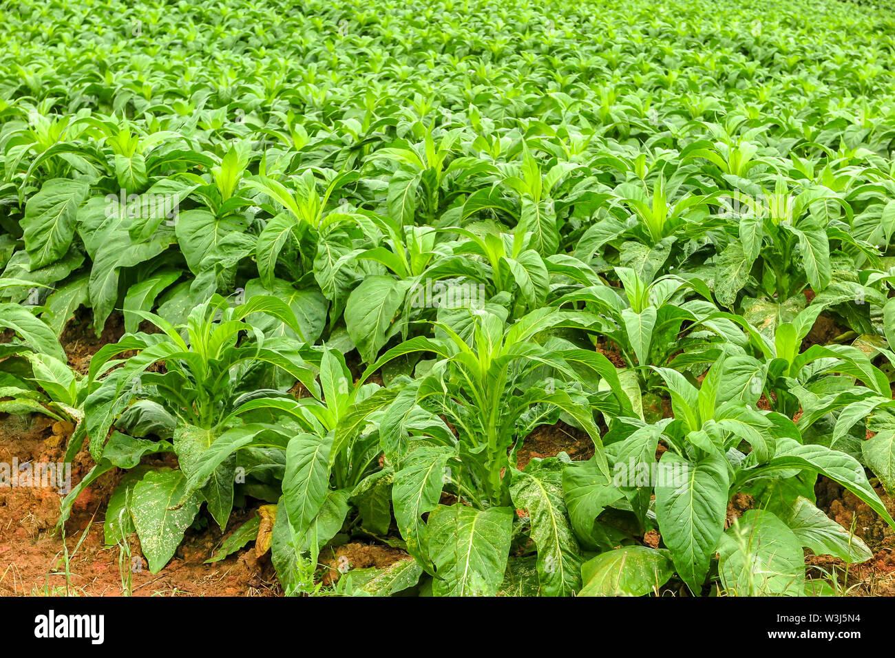 Tobacco plantation (Nicotiana tabacum), Petrolandia, Santa Catarina - Stock Image