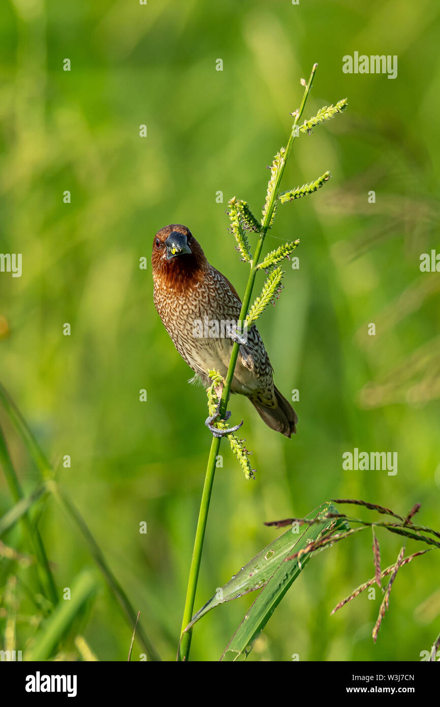 Scaly-Breasted Munia perching on grass stalk looking into a distance - Stock Image