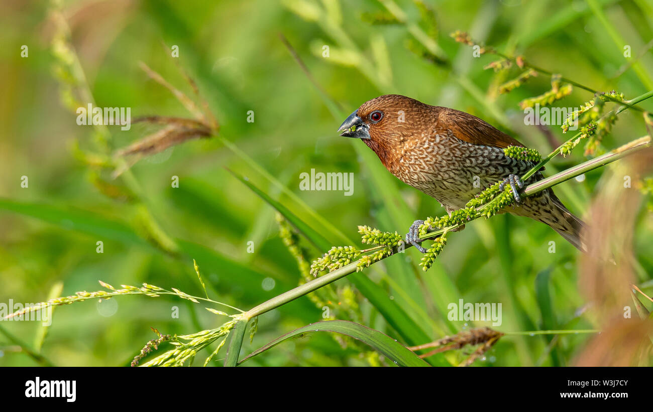 Scaly-Breasted Munia perching on grass stalk and feeding on its seeds - Stock Image