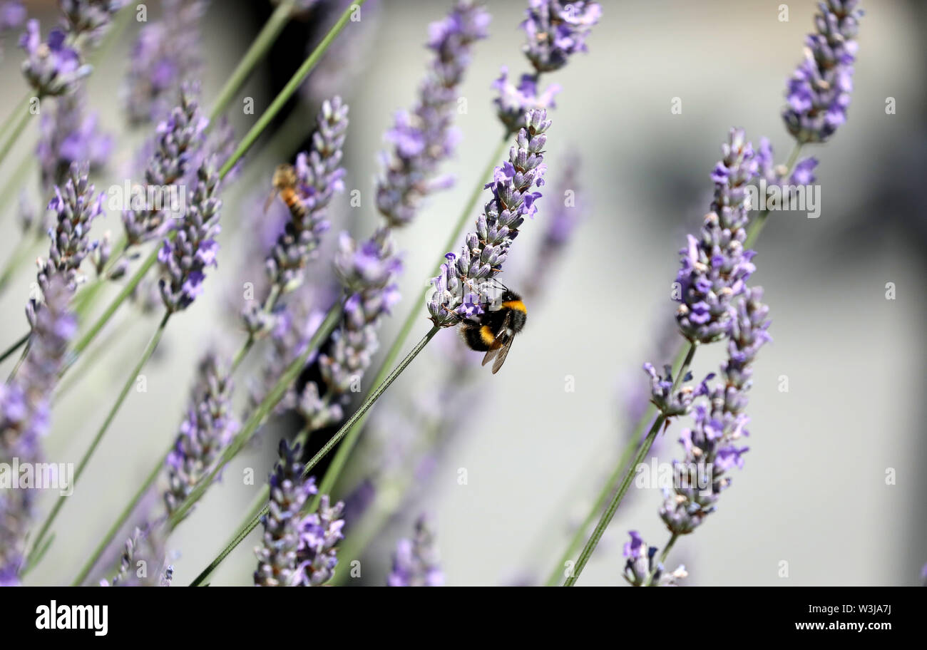 Pic shows: A huge bumble bee enjoying the pollen from newly flowered lavender on the warm July day     picture by Gavin Rodgers/ Pixel8000 - Stock Image