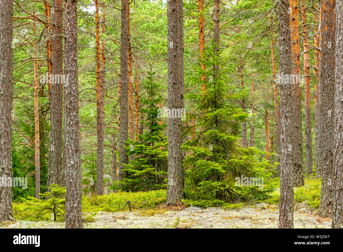 Forest with spruce trees and pine tree trunks Stock Photo