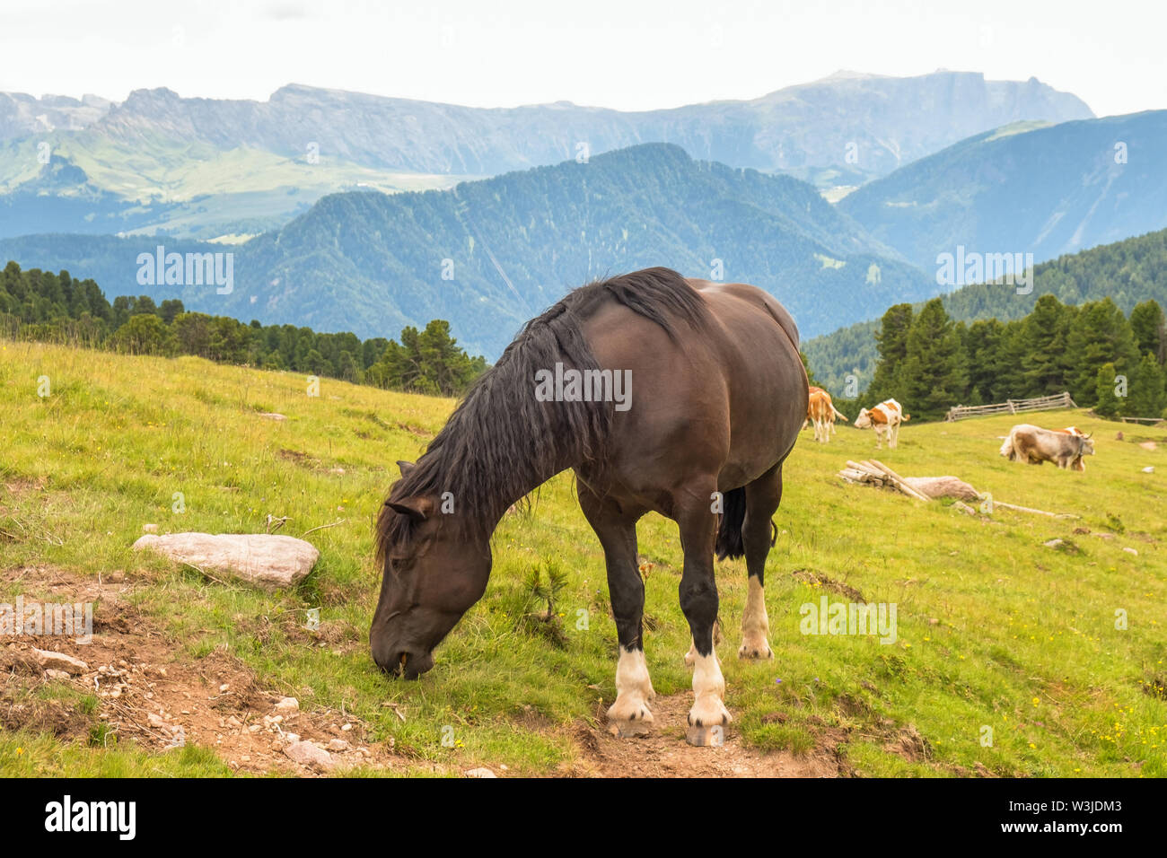 Horse grazing on an alp meadow with beautiful views - Stock Image