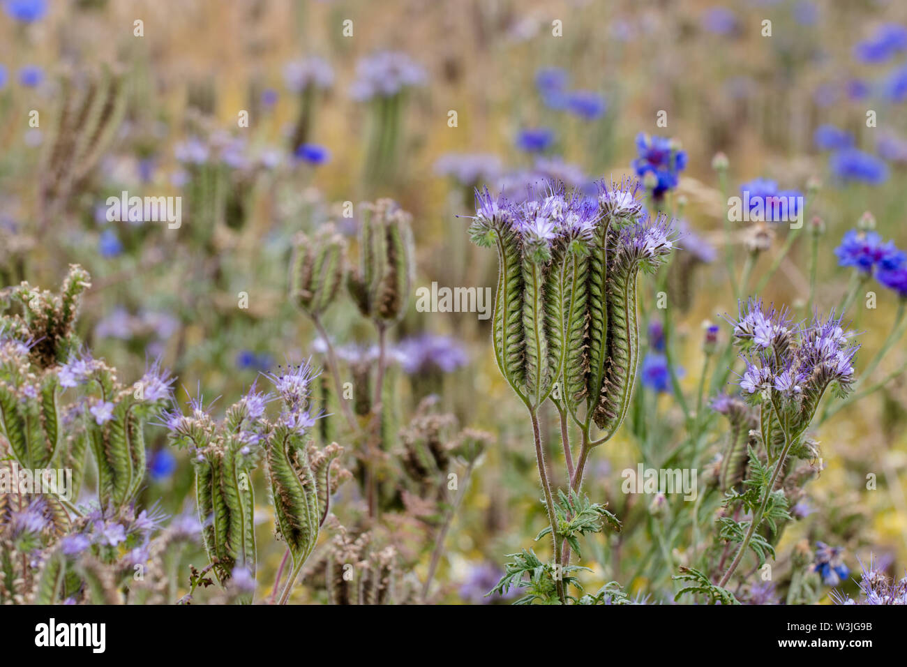 Violet inflorescence of a lacy  phacelia at the end of blooming period. Blue cornflowers in the background. - Stock Image