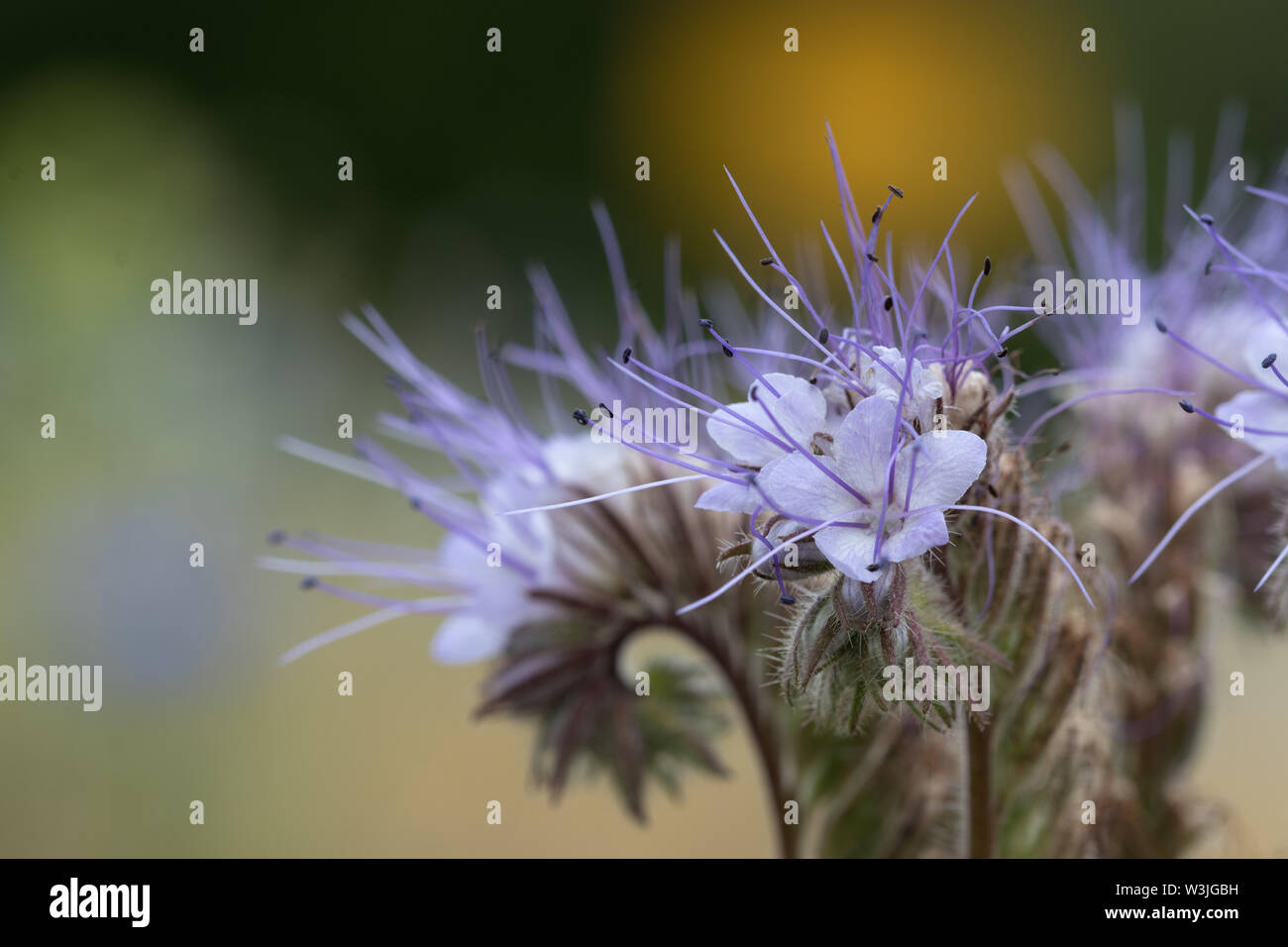 Detail from the inflorescence of a violet lacy  phacelia at the end of its blooming period. - Stock Image