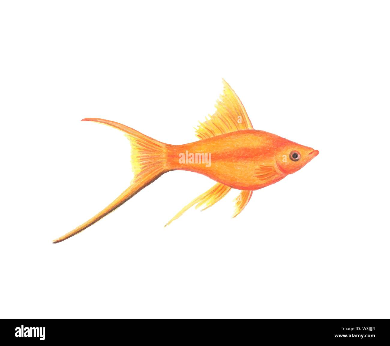 Vector swordtail fish illustration realistic drawing by colored pencils red Poeciliidae fish zoological illustration isolated on white background Stock Vector