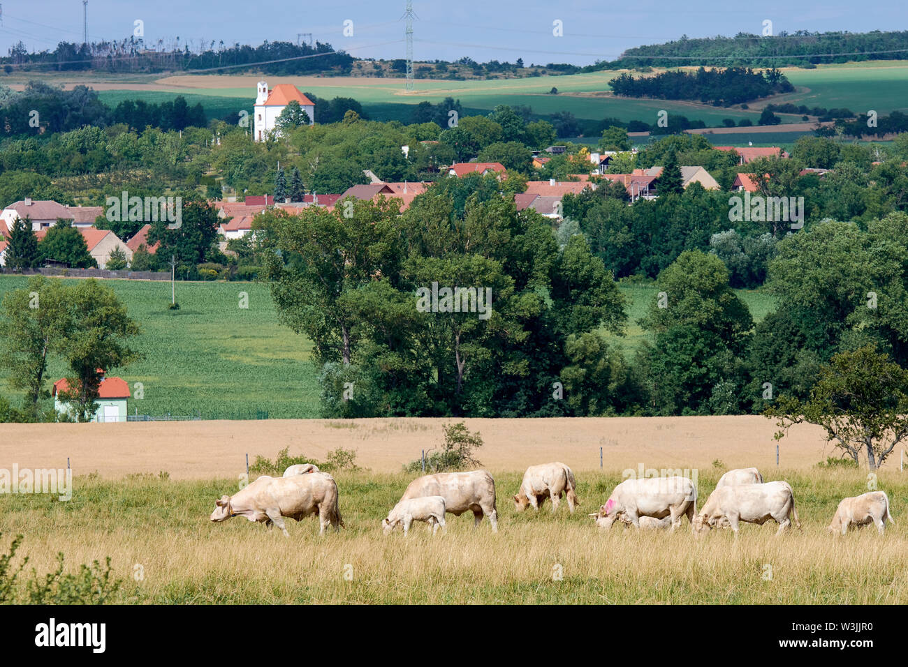 Herd of cows grazing in countryside with hills, trees and village with houses under spring sky with clouds - Stock Image