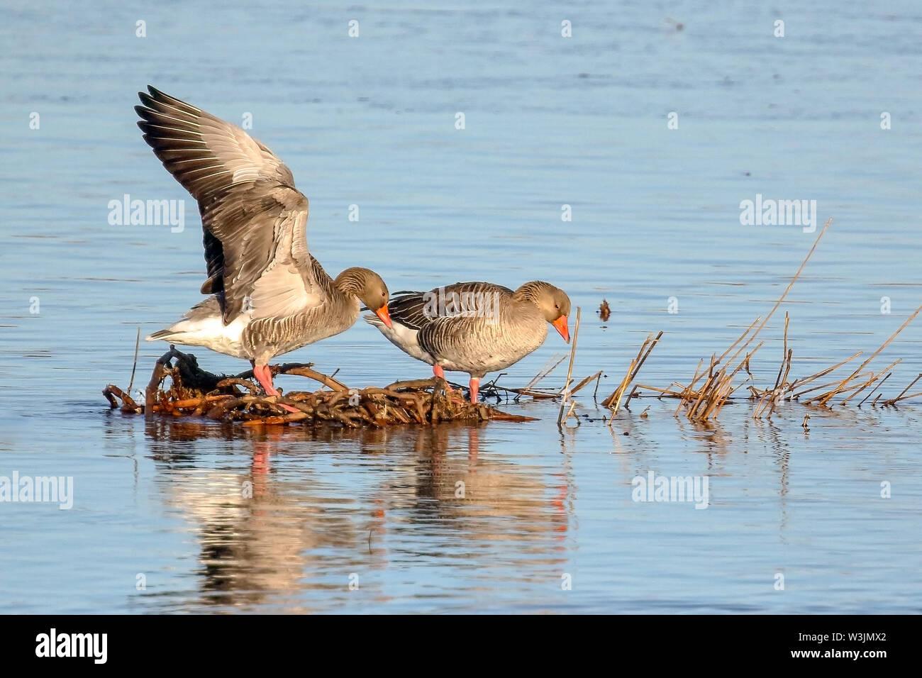 Greylag goose  in spring - Stock Image