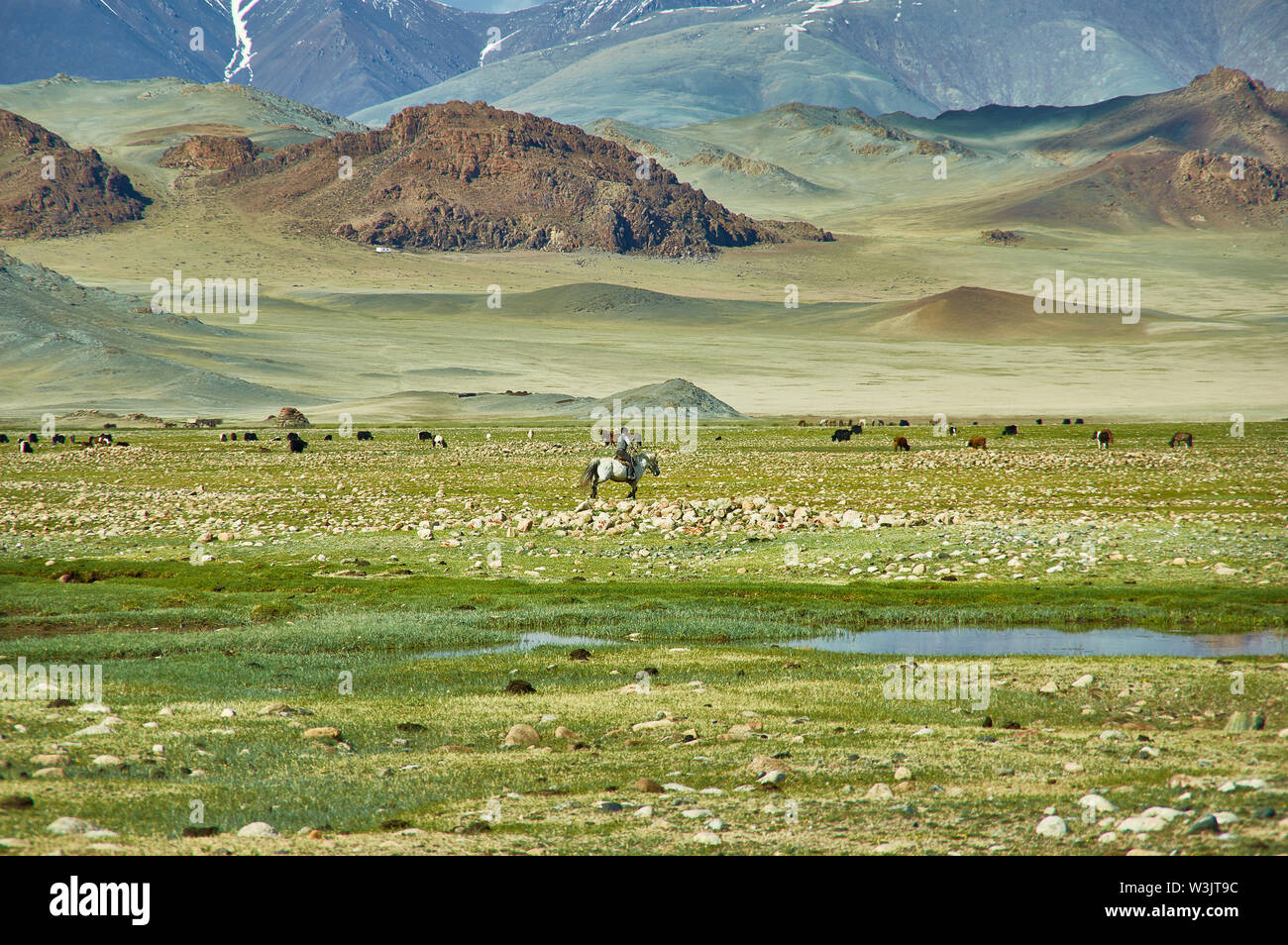 Mongolian Altai. Nomad drives herd to pasture  Scenic valley on the background of the snowcapped mountains. - Stock Image