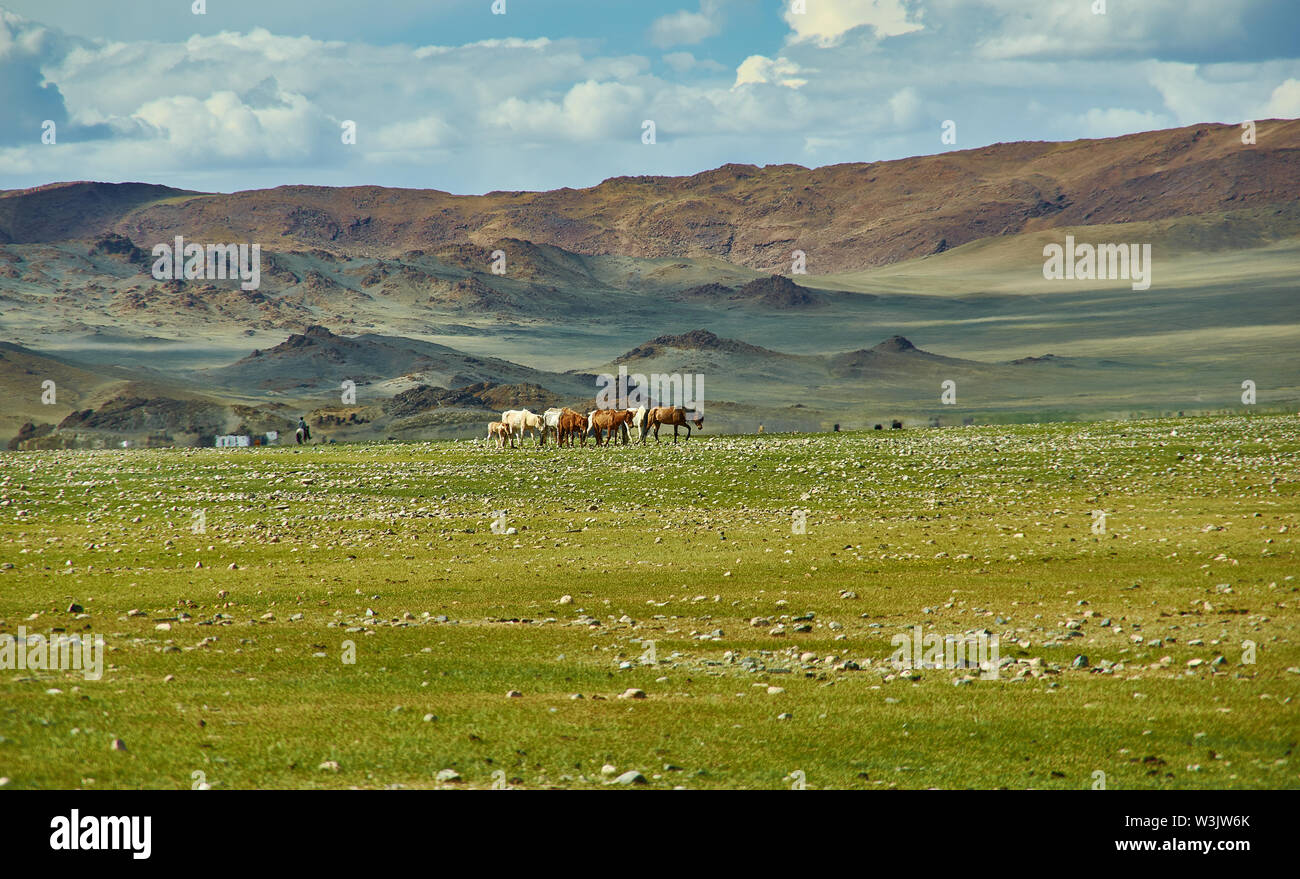 Mongolian Altai. Herd graze in the camp.  Scenic valley on the background of the snowcapped mountains.Herd graze in the camp - Stock Image