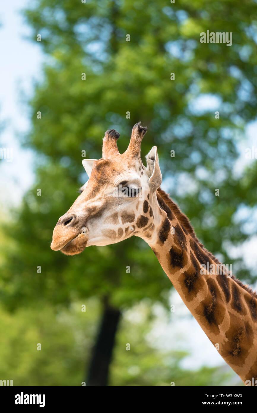 Maasai giraffe (Giraffa camelopardalis tippelskirchii) Chester England UK. May 2019 Stock Photo