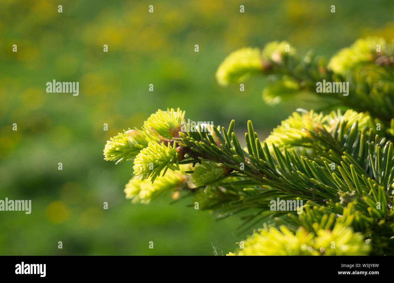 Fresh green needles sprouting at the end of a branch on a conifer in spring symbolic of the seasons in a close up detailed view Stock Photo