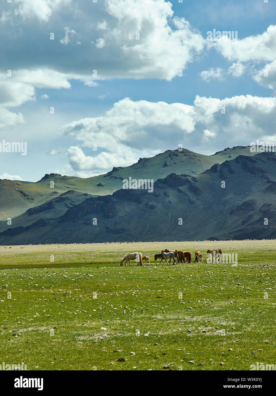 Mongolian Altai.  Scenic valley on the background of the snowcapped mountains.Herd graze in the camp - Stock Image