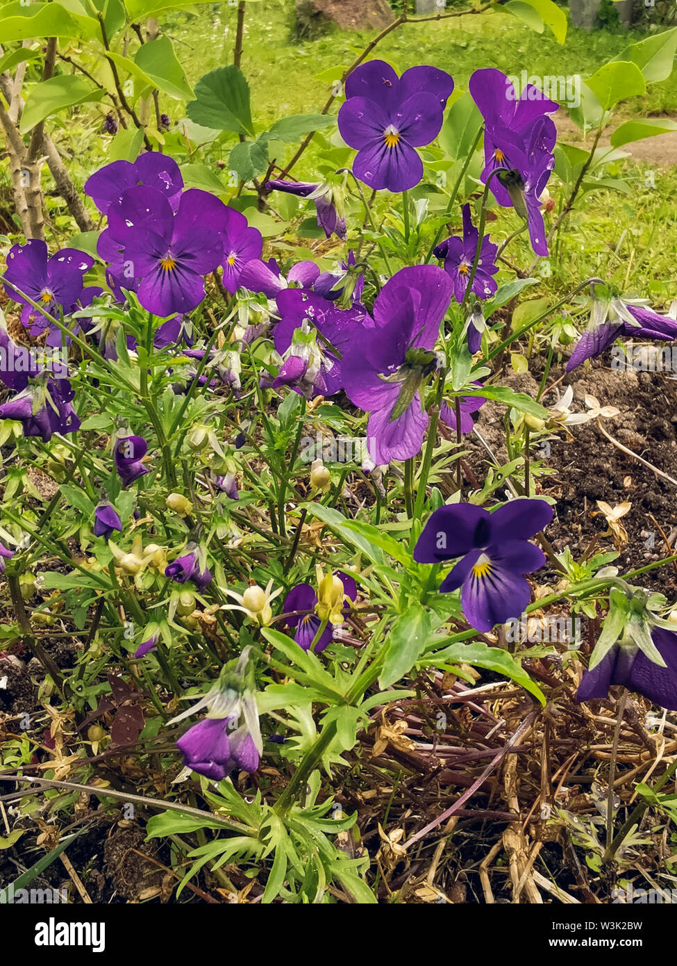 Viola wittrockiana pansy blue flowers with green. - Stock Image