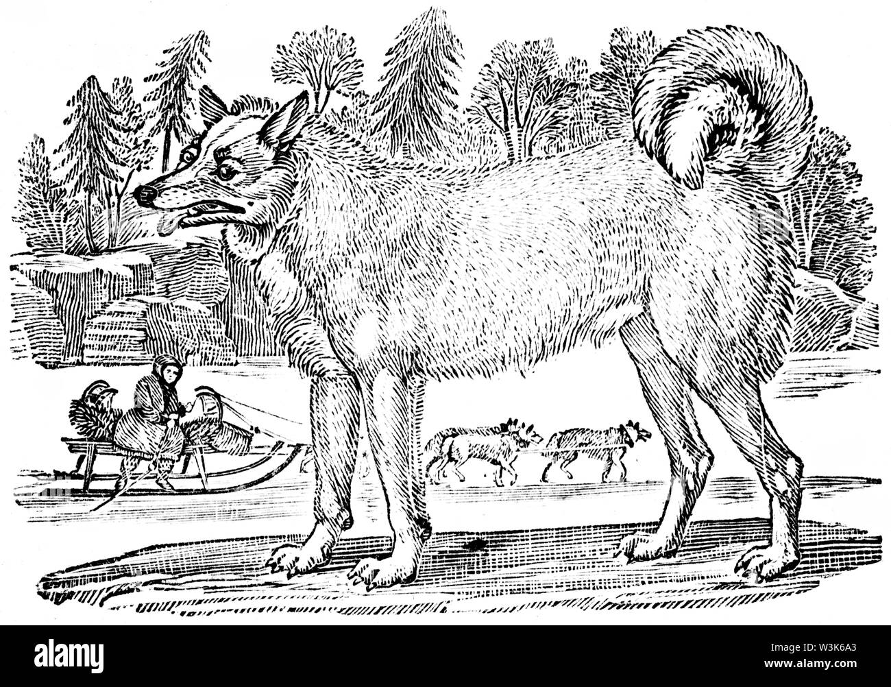 Wood cut engraved illustration, taken from 'Thomas Bewick 'A General History of Quadrupeds', Published by T. Bewick, Longman and Co. Printed by Edward Stock Photo