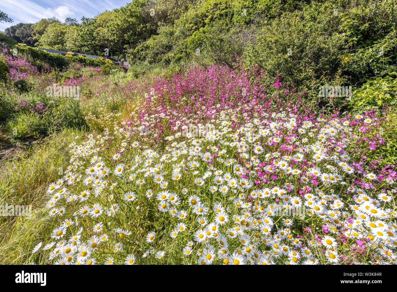 The beautiful rugged south coast of Guernsey - Wild flowers beside the coastal footpath round Moulin Huet Bay, Guernsey, Channel Islands UK Stock Photo