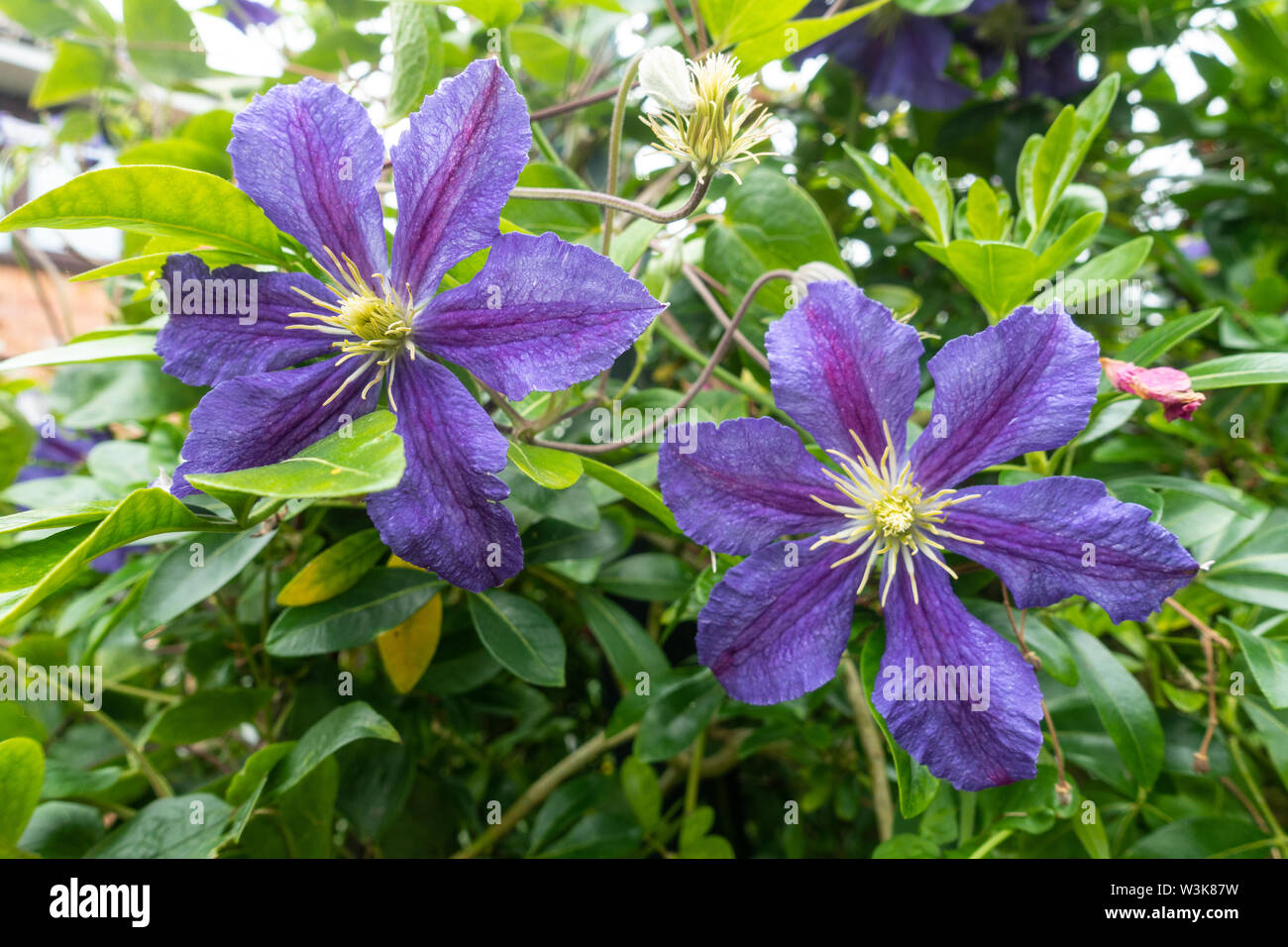 Close up view of purple clematis flowers. Stock Photo