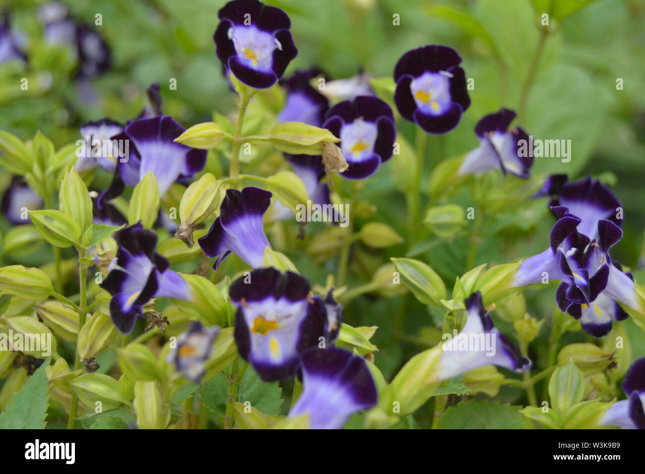 Browallia speciosa; one of the most beautiful flower of blue-violet colour. - Stock Image