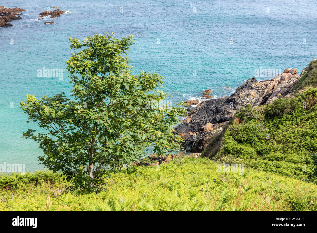 Looking down from the coastal path onto a tree on the cliffs above Petit Bot Bay on the beautiful rugged south coast of Guernsey, Channel Islands UK - Stock Image