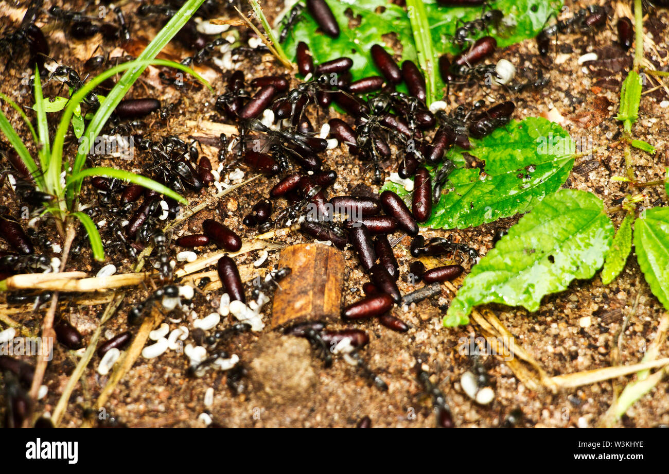 Part of the African Stink Ant family. The Hissing Ant is a nomadic predator that forages out from temporary bivouacs and scoure the surroundings - Stock Image
