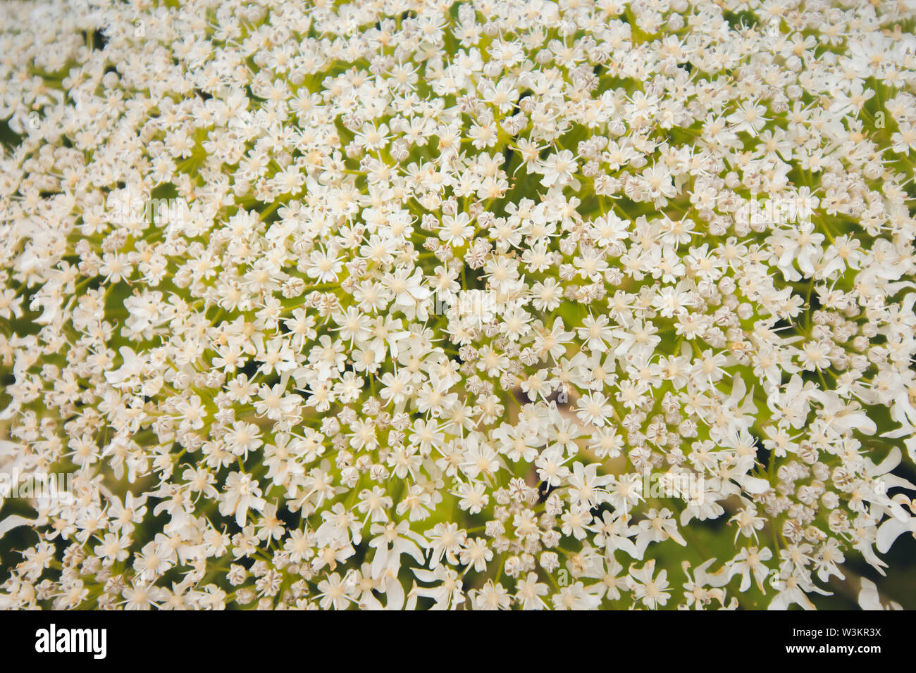 Inflorescence of a large number of white flowers. Flowers grow against the background of green grass that grows in a forest glade. Stock Photo
