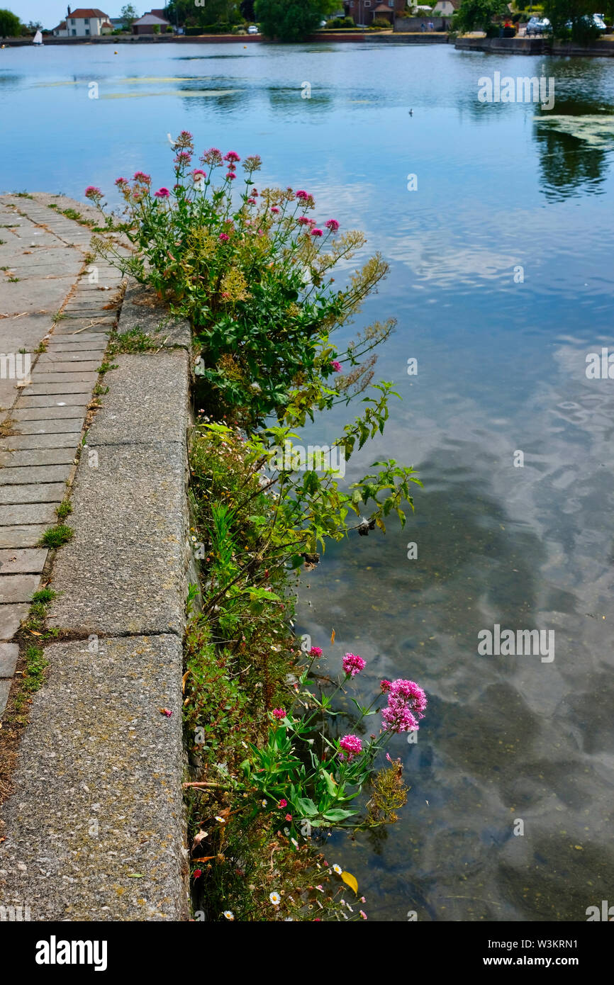 Red Valerian in bloom in crevices in the wall surrounding Emsworth Mill Pond, Emsworth, Hampshire, UK - Stock Image