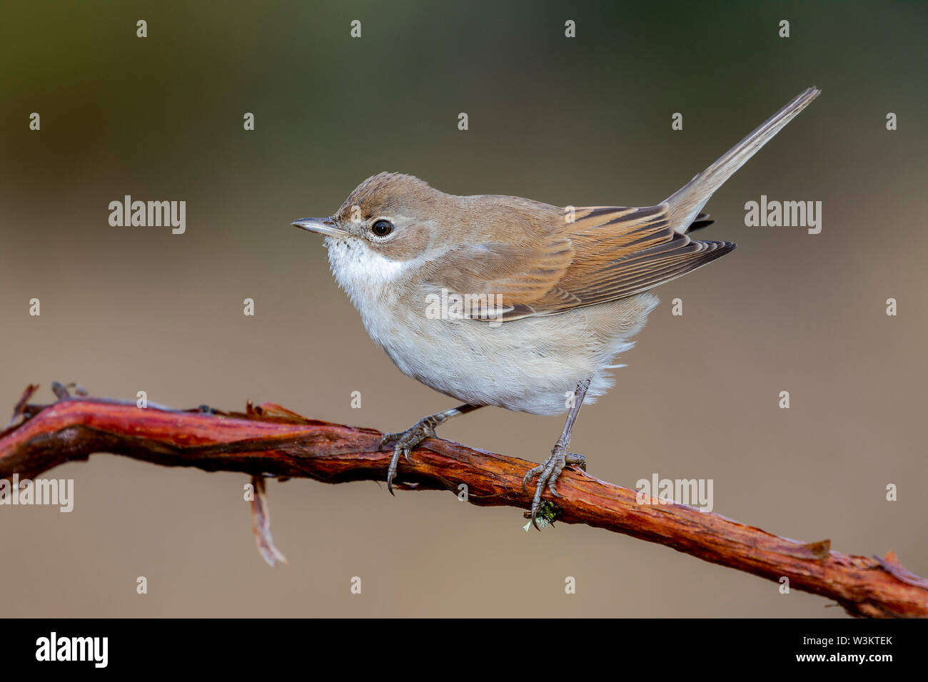 White Throat (Sylvia communis) perched on a branch in the wild nature. - Stock Image