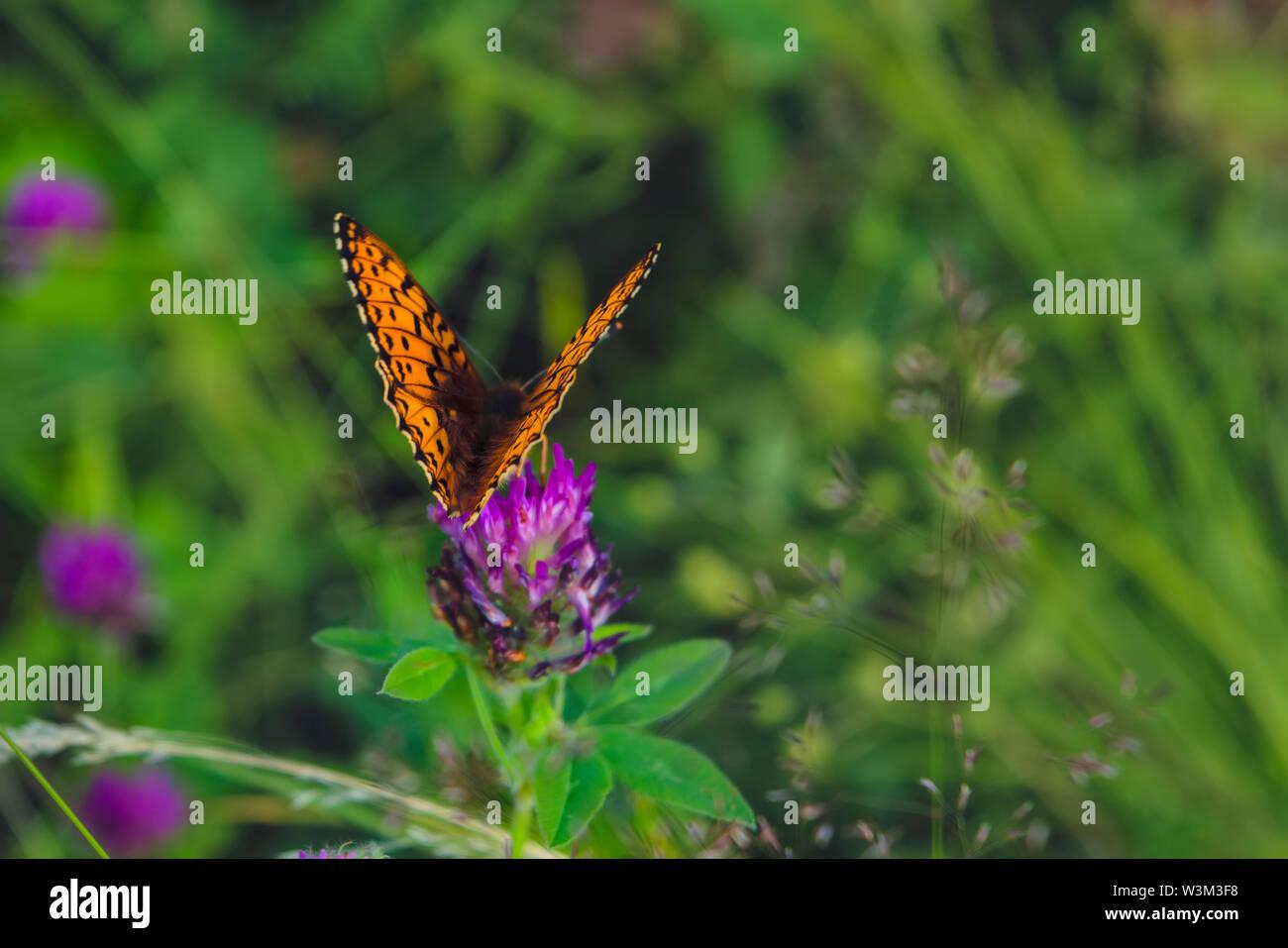 Argynnis paphia. Beautiful Argynnis paphia butterfly in sunlight in herb garden. - Stock Image