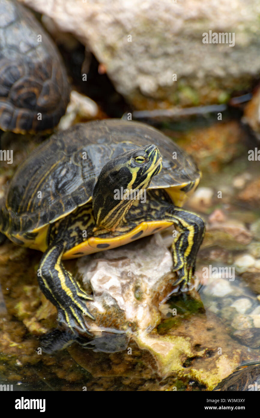 Yellow-bellied sliders, land and water turtles, sunbathing in pond close up - Stock Image