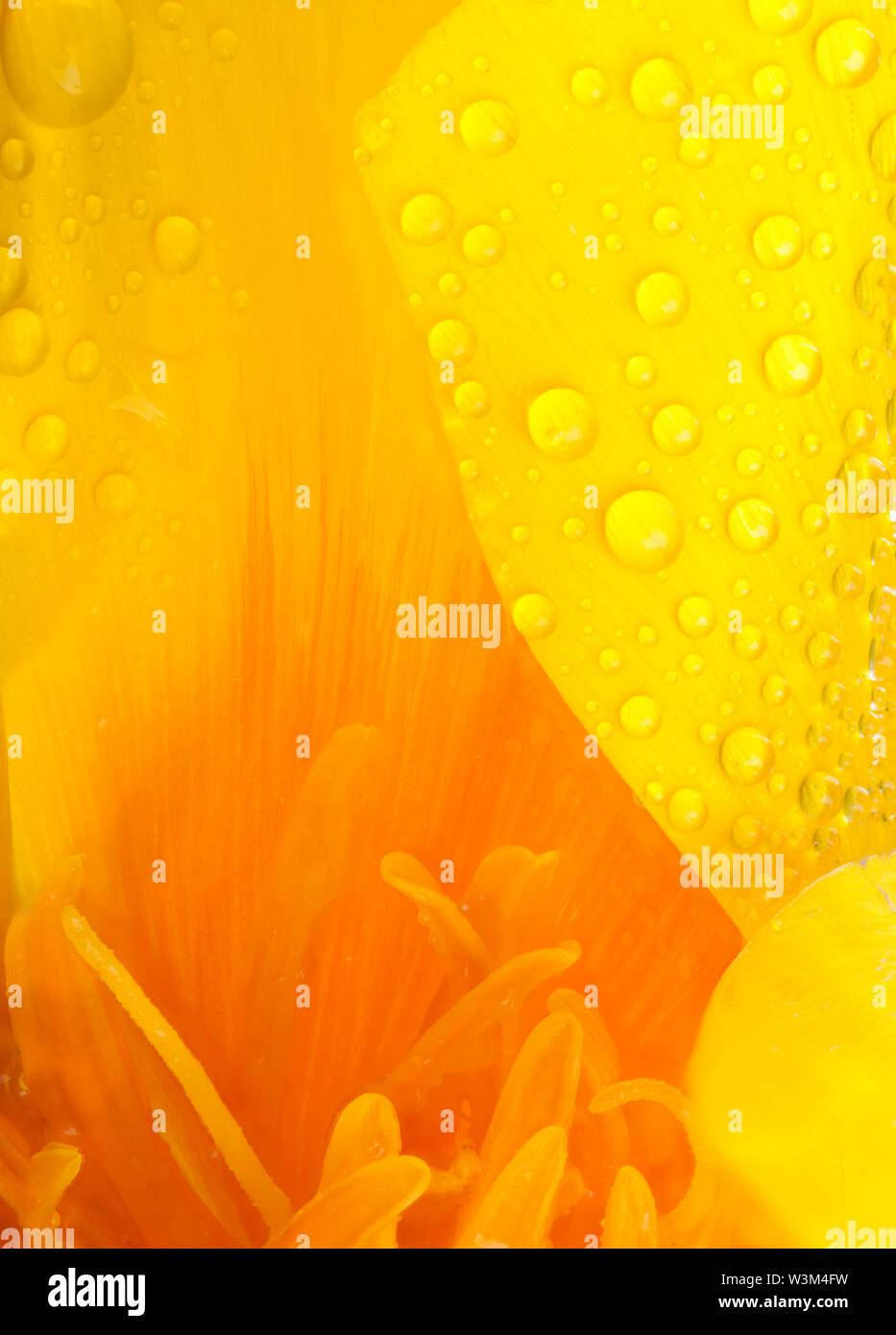 Yellow and orange poppy flower head super close up of stamen and water drops with a large puddle of water and reflections. Nature in macro with garden Stock Photo