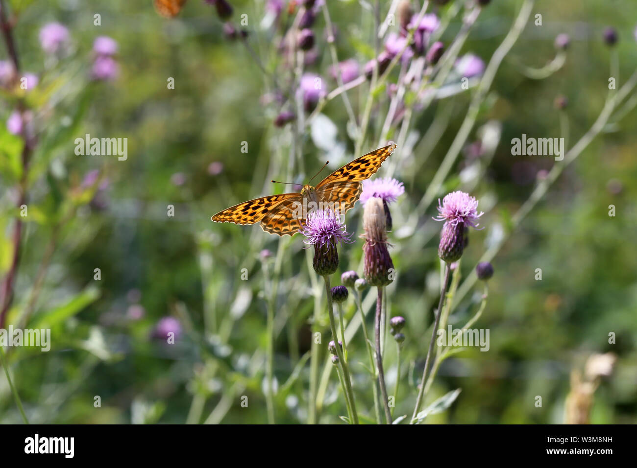 Beautiful butterfly drinks nectar from a flower. - Stock Image