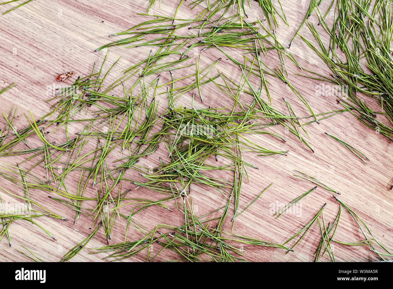 Fallen spruce needles on the floor in the room. - Stock Image