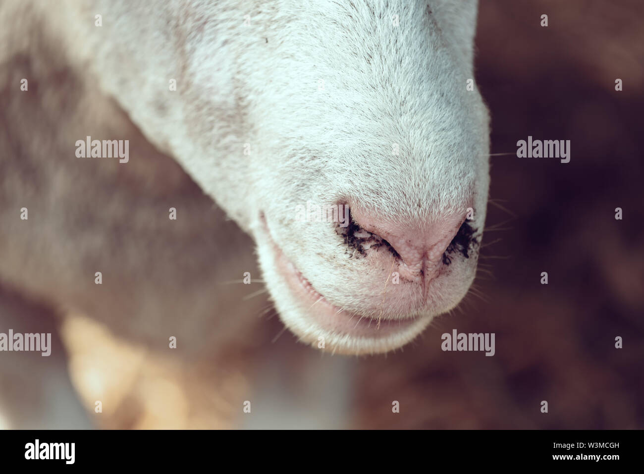 Ile de France sheep nose close up in pen on livestock farm, domestic animals husbandry concept - Stock Image