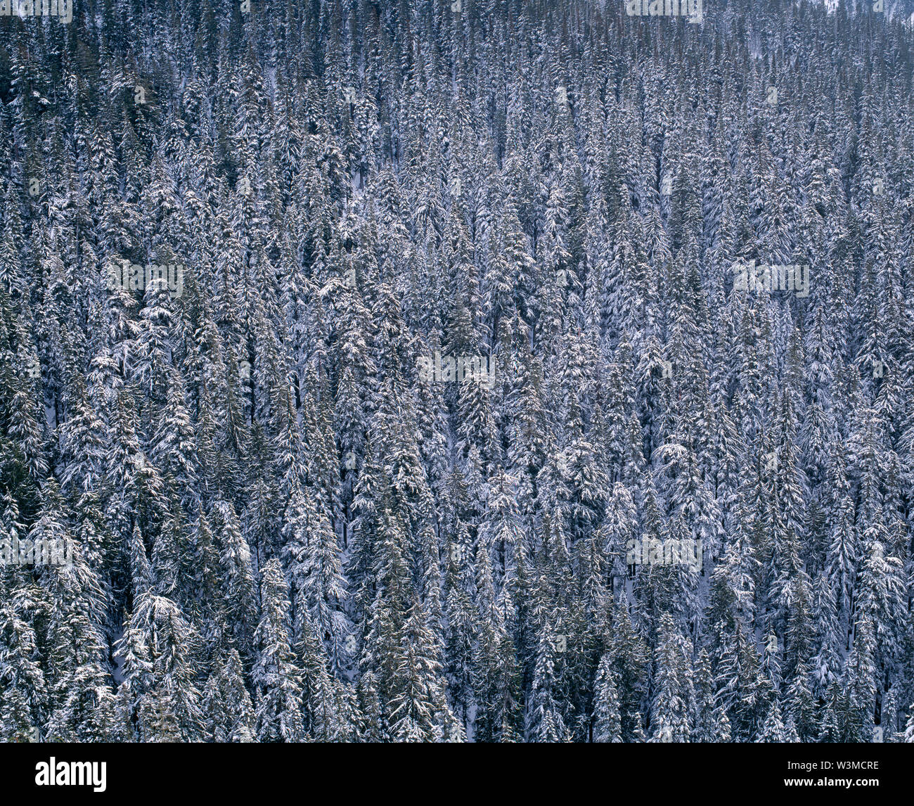 USA, Washington, Mt. Rainier National Park, Winter snow clings to conifer forest above Paradise River. Stock Photo