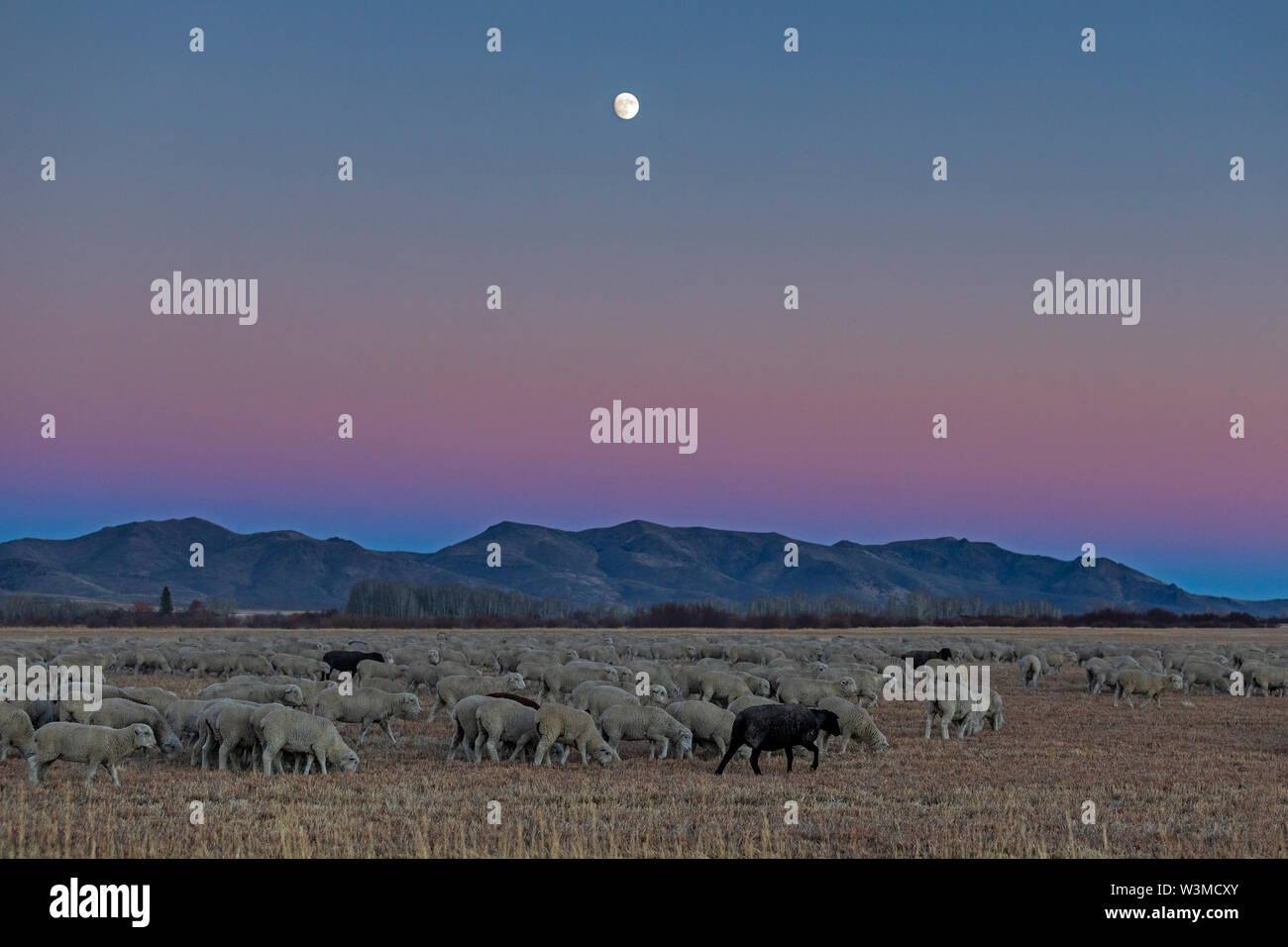 Flock of sheep at sunset in Picabo, Idaho - Stock Image