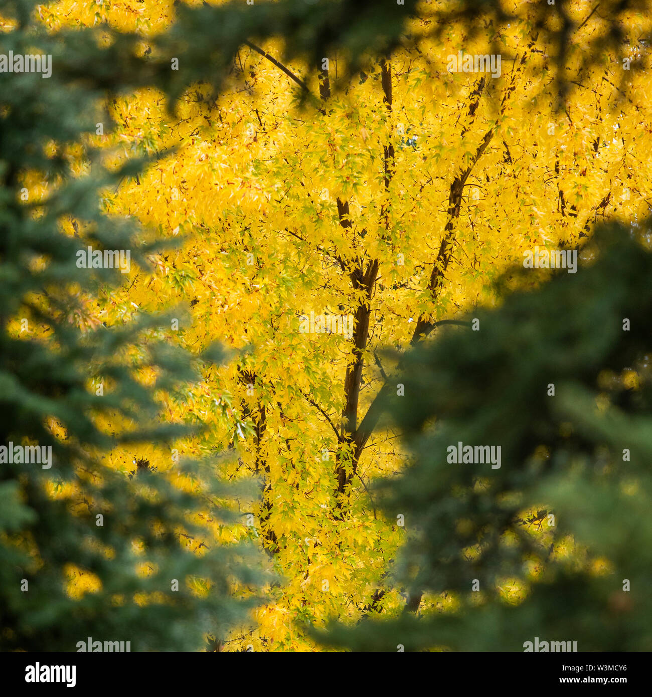 Tree with yellow leaves - Stock Image