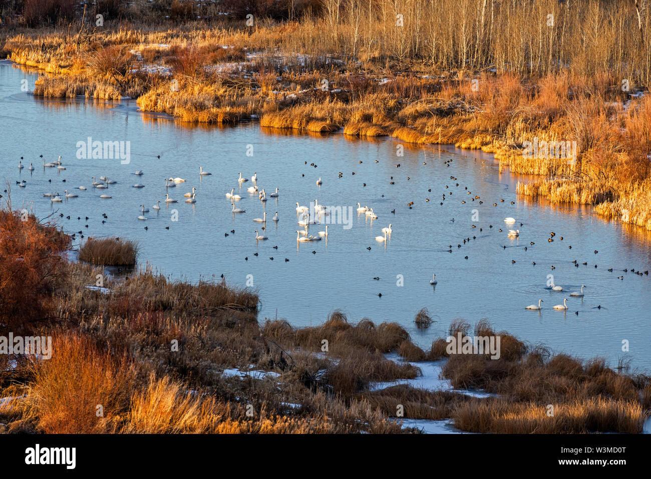 Swans in river in Picabo, Idaho - Stock Image